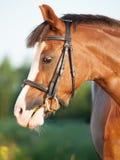 Stående av den härliga stoen för welsh ponny Royaltyfri Bild