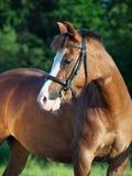 Stående av den härliga stoen för welsh ponny Royaltyfri Fotografi