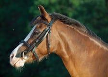 Stående av den härliga stoen för welsh ponny Royaltyfria Foton