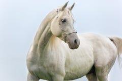 Stående av den härliga vita arabiska hingsten Fotografering för Bildbyråer