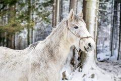 Stående av den härliga vita hästen i vinterberget Fotografering för Bildbyråer