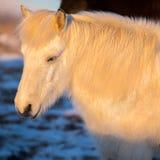 Stående av den härliga vita icelandic hästen Royaltyfri Foto