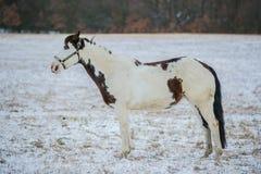 Stående av den härliga vita och bruna målarfärghästen arkivfoton