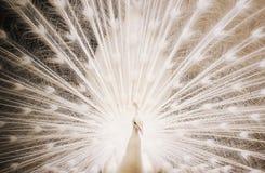 Stående av den härliga vita påfågeln med fjädrar ut Fotografering för Bildbyråer