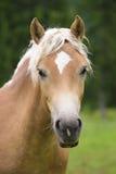 Stående av den Haflinger hästen royaltyfri fotografi