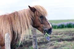 Stående av den icelandic hästen Fotografering för Bildbyråer