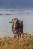 Stående av den inhemska buffeln i Nepal Royaltyfria Foton