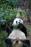 Stående av den jätte- pandan, Ailuropodamelanoleucaen eller Panda Bear Stäng sig upp av den jätte- pandan som ligger och äter bam arkivbild