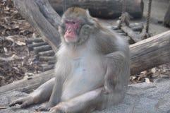 Stående av den japanska macaquen Arkivbild