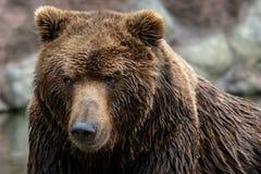 Stående av den Kamchatka björnen royaltyfria bilder