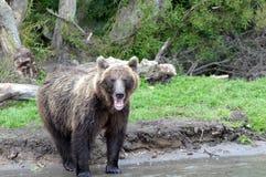 Stående av den Kamchatka brunbjörnen Royaltyfria Bilder