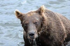 Stående av den Kamchatka brunbjörnen i vattnig inre Arkivbilder