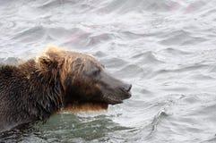 Stående av den Kamchatka brunbjörnen i vattnig inre Royaltyfri Fotografi