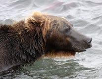 Stående av den Kamchatka brunbjörnen i vattnig inre Arkivbild