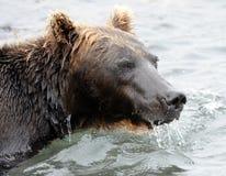 Stående av den Kamchatka brunbjörnen i vattnig inre Arkivfoto