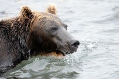 Stående av den Kamchatka brunbjörnen i vattnig inre Royaltyfri Foto