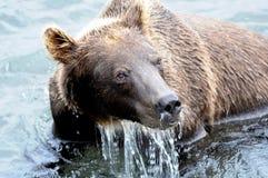 Stående av den Kamchatka brunbjörnen i vattnig inre Royaltyfria Foton