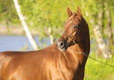 Stående av den kastanjebruna arabiska hästen Arkivfoto