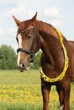 Stående av den kastanjebruna hästen med maskrosarmringen Arkivbild