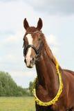 Stående av den kastanjebruna hästen med maskrosarmringen Arkivbilder