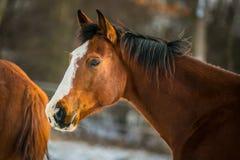Stående av den kastanjebruna hästen med svart man royaltyfri bild