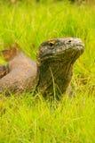 Stående av den Komodo draken som ligger i gräs på den Rinca ön i Komo Royaltyfria Bilder