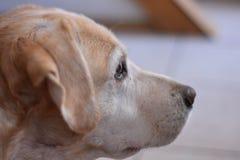Stående av den kräm- labrador retriever hunden Royaltyfria Bilder