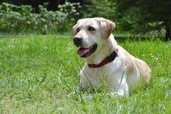 Stående av den labrador hunden Royaltyfri Bild