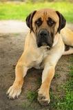 Stående av den ledsna beigea Boerboel hunden Fotografering för Bildbyråer