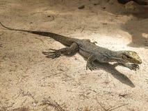 Stående av den levande bildskärmödlan, varan i sandjordning, Thailand royaltyfri foto