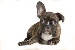 Stående av den liggande fullbody bruna hunden för fransk bulldogg - textutrymme på vänstersidan arkivfoton
