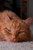 Stående av den ljust rödbrun katten som ser tittaren som vilar huvudet Arkivfoto