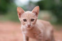 Stående av den ljust rödbrun kattungen som ser kameran Royaltyfria Foton
