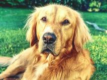 Stående av den lugna golden retriever Sund kropp av den smarta liggande hunden arkivbilder