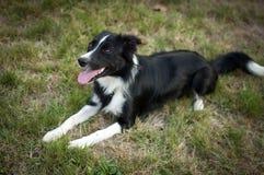 Stående av den lyckliga svartvita hunden som ligger på det gröna gräset i trädgården under sommardag Royaltyfri Bild