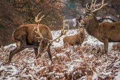 Stående av den majestätiska fullvuxna hankronhjorten för röda hjortar i vinter fotografering för bildbyråer