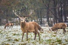 Stående av den majestätiska fullvuxna hankronhjorten för röda hjortar i vinter royaltyfria foton