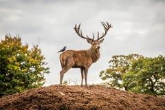 Stående av den majestätiska fullvuxna hankronhjorten och fågeln för röda hjortar i Autumn Fall arkivbilder