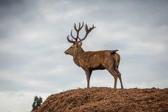 Stående av den majestätiska fullvuxna hankronhjorten och fågeln för röda hjortar i Autumn Fall fotografering för bildbyråer