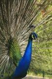 Stående av den male indiska peafowlen Arkivbilder