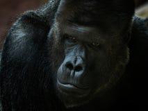 Stående av den manliga gorillan arkivbild