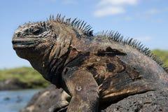 Stående av den marin- leguanen galapagos öar Stillahavs- hav ecuador Royaltyfri Bild
