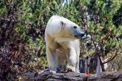Stående av den massiva konungen Polar Bear Arkivbild