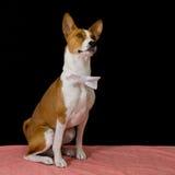 Stående av den modiga Basenji hunden Fotografering för Bildbyråer