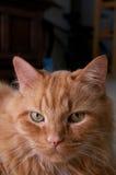 Stående av den orange katten som ser tittaren Arkivbilder