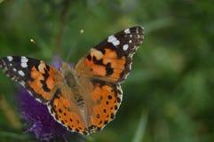 Stående av den orange och svarta fjärilen på en purpurfärgad blomma i bergen av Galicia Staket Of Valleys Pinjeskogar Ängar och royaltyfri fotografi