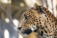 Stående av den persiska leoparden Royaltyfri Foto
