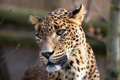 Stående av den persiska leoparden Royaltyfri Fotografi