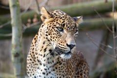 Stående av den persiska leoparden Arkivfoton