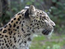 Stående av den persiska leoparden, Pantherapardussaxicolor arkivbild